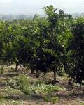 New Plants of Citrus